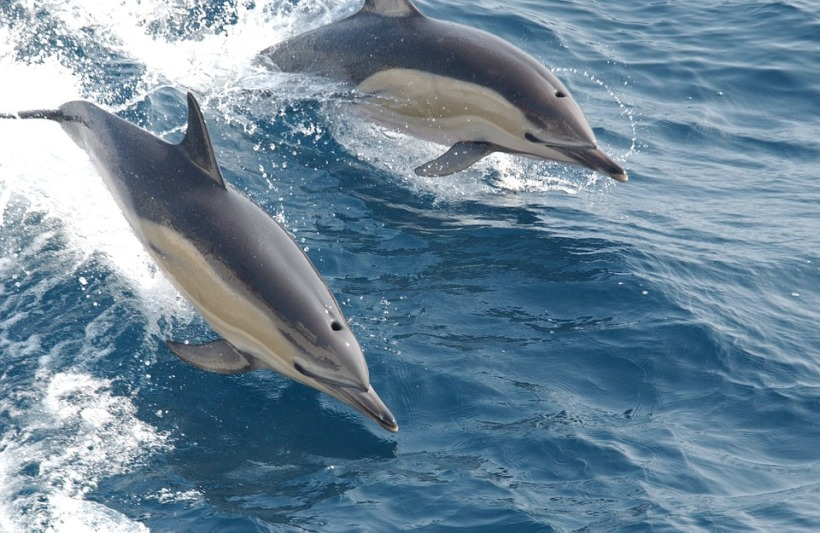 dolphins leaping sea ocean marine life wildlife free