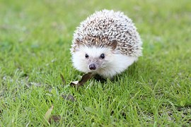 hedgehog-663638__180