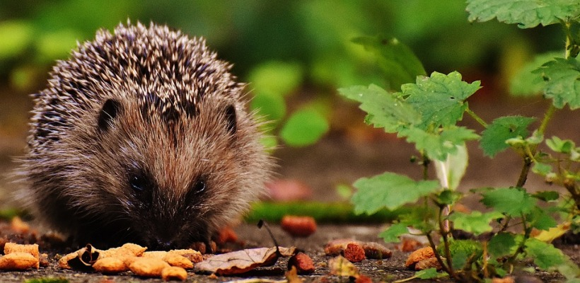 hedgehog food feeding garden winter hibernate endangered extinction