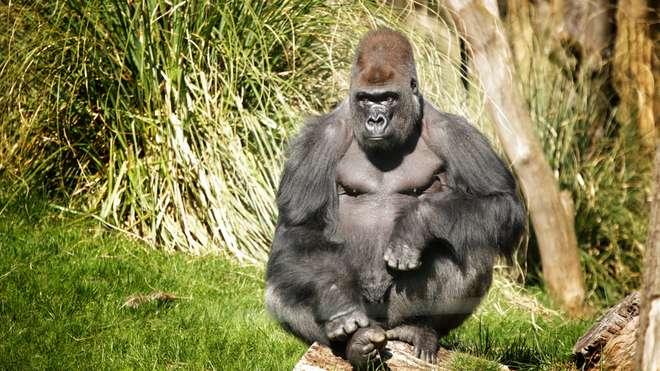 kumbuka london zoo gorilla