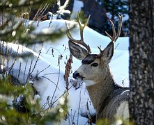 deer yellowstone national park snow wildlife nature