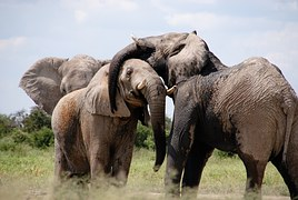 elephant family young trunks ears grey african endangered wildlife