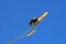 black beetle on stalk grass insect blue sky