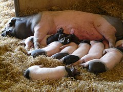 mother pig sow piglets pink black cute nursing feeding mammal farm animal