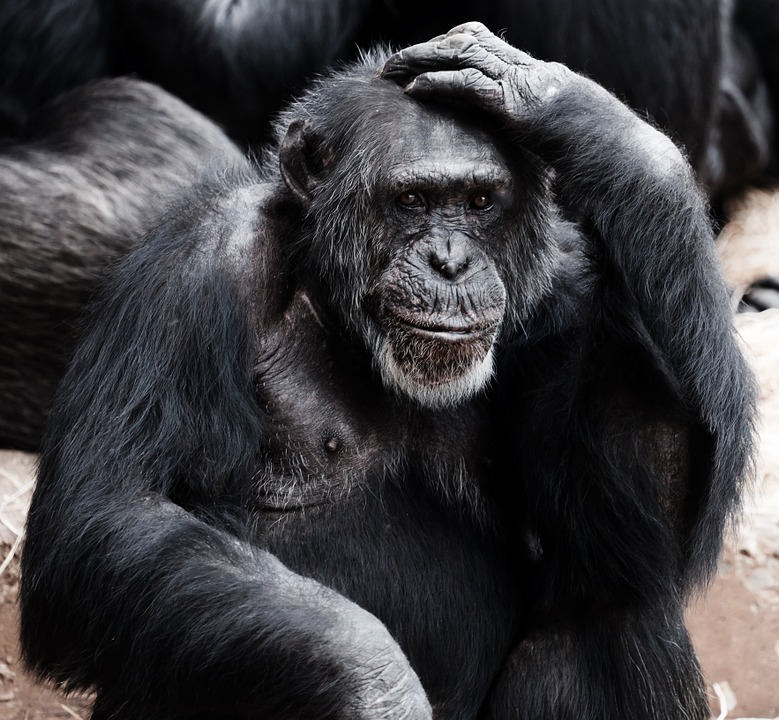 chimp chimpanzee ape primate thinking head scratching