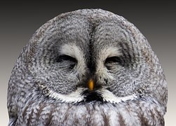 grey owl asleep bird animal feathers wildlife