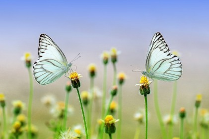 pale blue butterflies on flowers meadow insects wildlife nectar wings