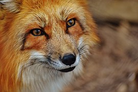 red fox face whiskers wildlife wild animal mammal