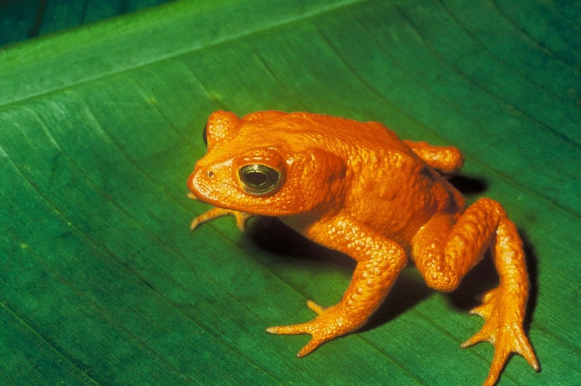golden toad green leaf amphibian