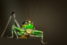 green grasshopper insect