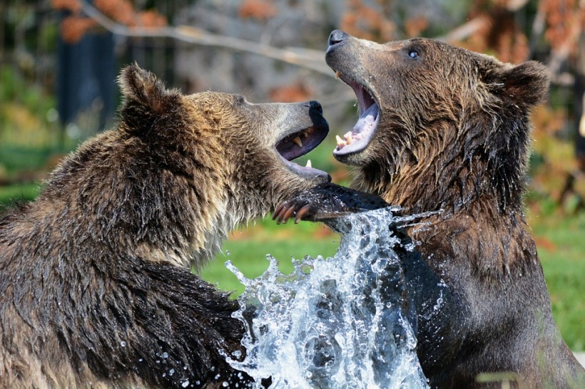 grizzly bears play fighting splash water wildlife