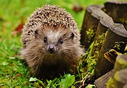 hedgehog endangered mrs tiggywinkle garden autumn prickles