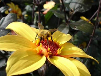 dahlia yellow bee garden flower nectar pollen