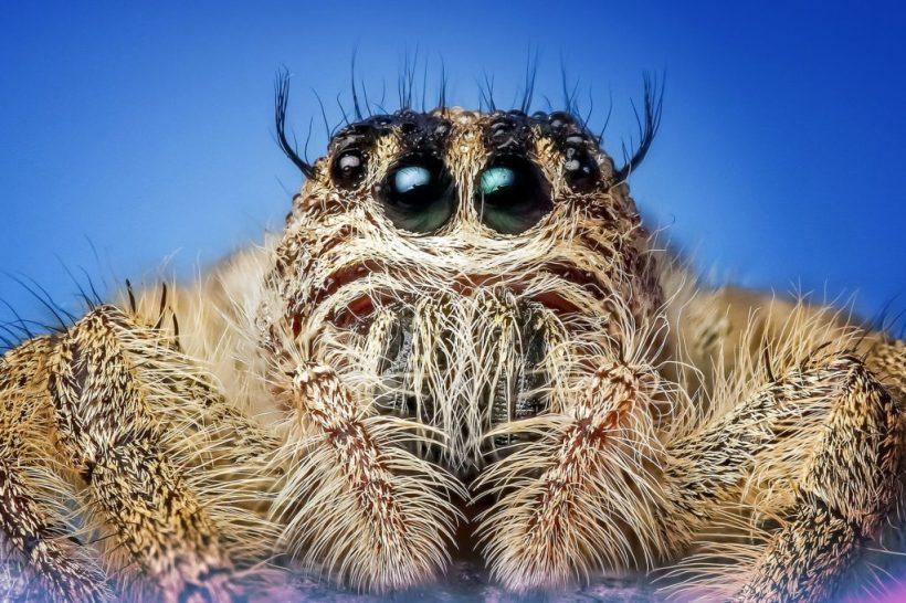 jumping spider hairy legs