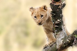lion cub tre branch watching wildlife wild animal big cat