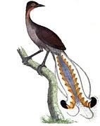 lyre-bird-1140064__180