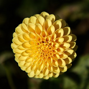 dahlia yellow garden flower pompom
