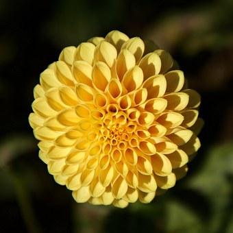 dahlia yellow garden flower pompom