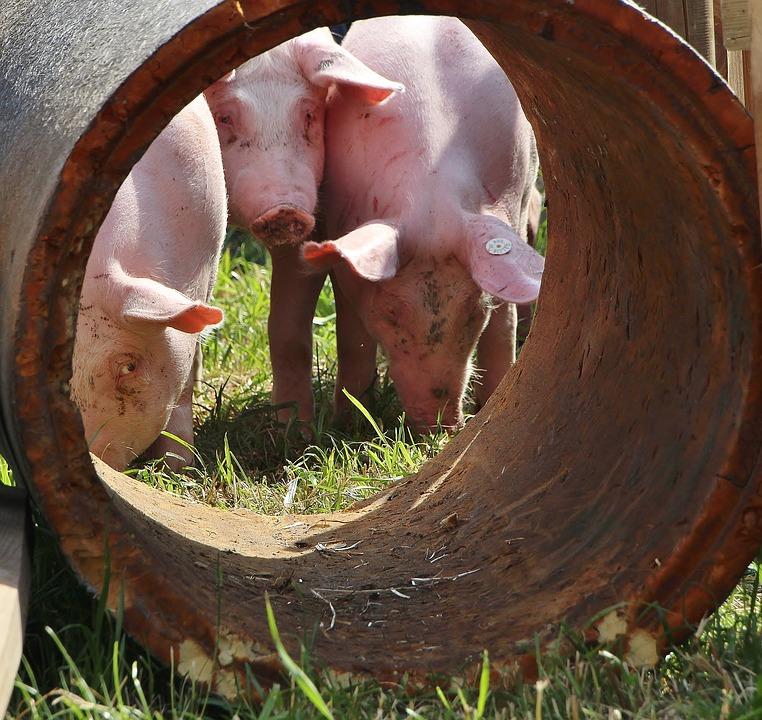 pigs sanctuary happy rooting pasture grass