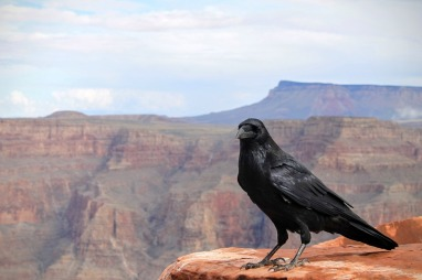 raven grand canyon black bird wilderness rock