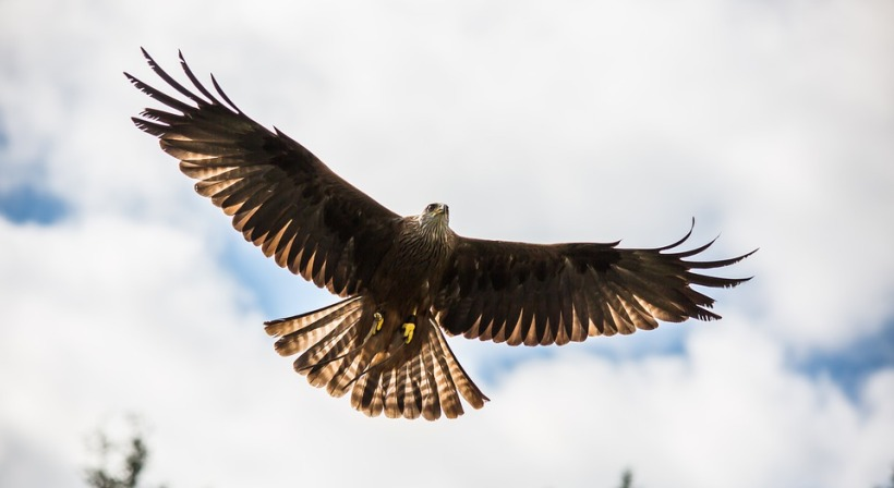 red kite bird of prey predator wildlife hover