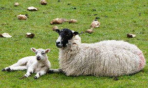 sheep ewe lamb field woolly cute black face farm animal