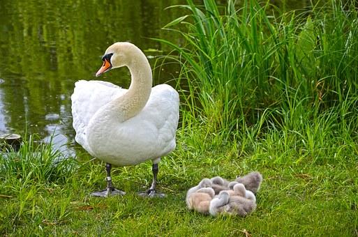 swan-1412233__340