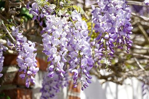 wisteria-1400479__340