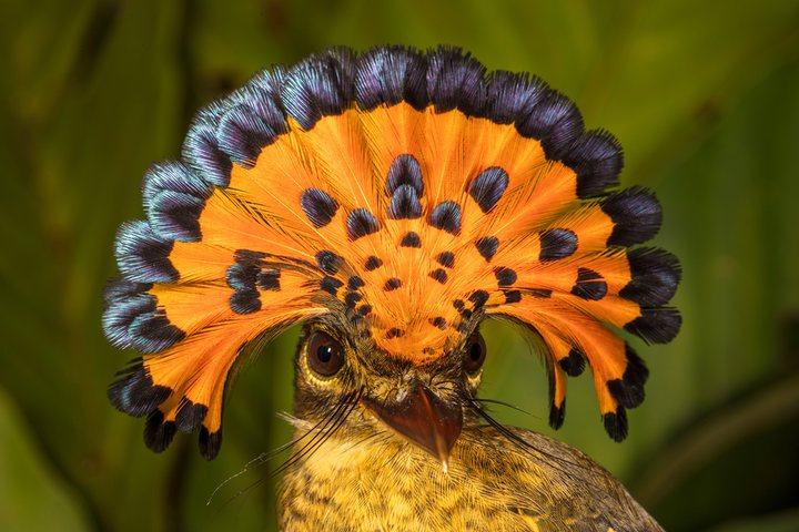 Amazonian royal flycatcher bird orange black crest display male winning wildlife photo