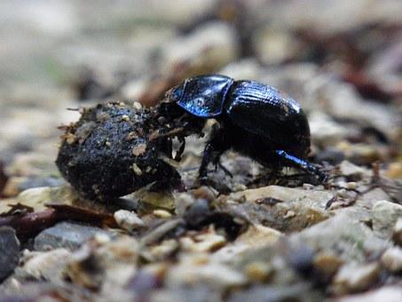 dung-beetle-54489__340