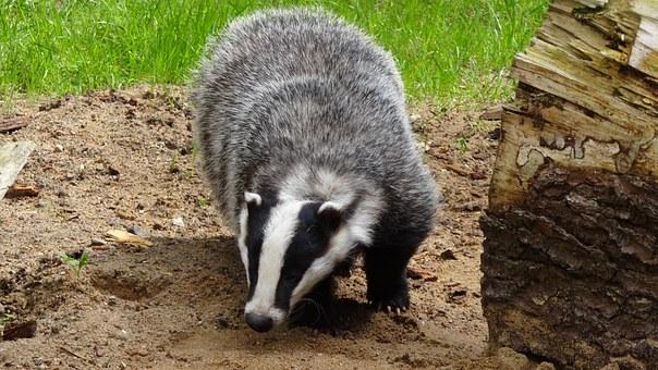 badger-44210__340