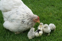 cochin mother hen and chicks