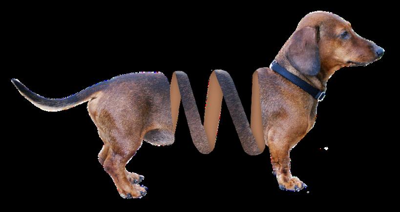 dachshund-1532974_960_720