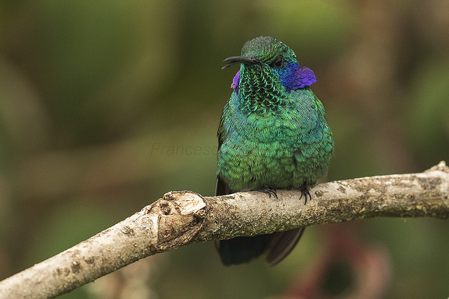 green-violeteer