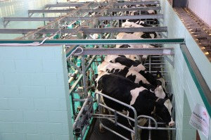 dairy cows cattle miking parlour farm