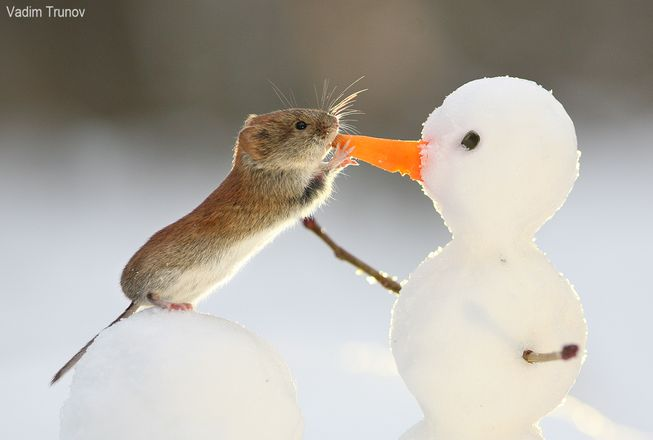 mouse-eats-snowman-nose-jpg-653x0_q80_crop-smart