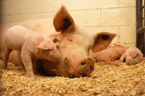 happy smile pig sow mother piglets