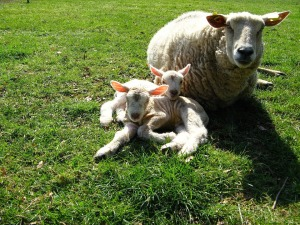 sheep twin lambs mother ewe