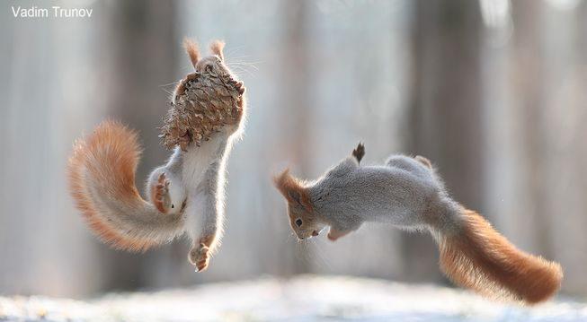 squirrel-pinecone-gymnastics-jpg-653x0_q80_crop-smart