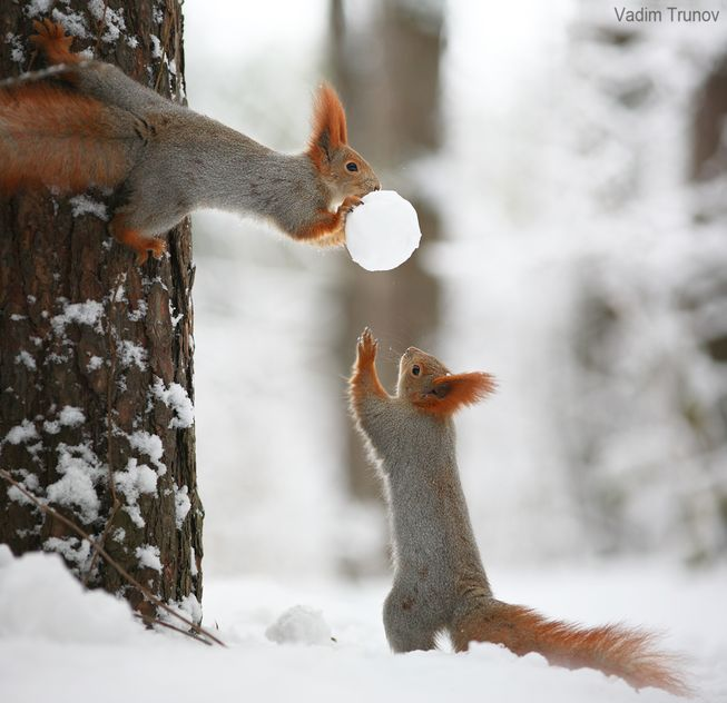 squirrels-with-snowball-jpg-653x0_q80_crop-smart