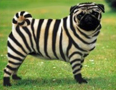 zebra pug stripey striped stripes dog black white