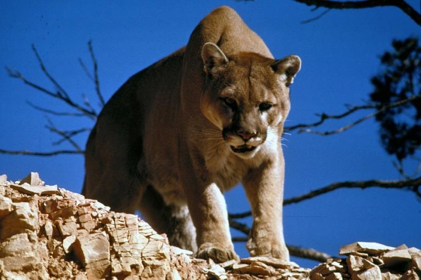 cougar-718092_960_720