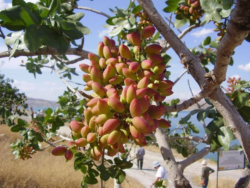 pistachios harvest tree food vegan