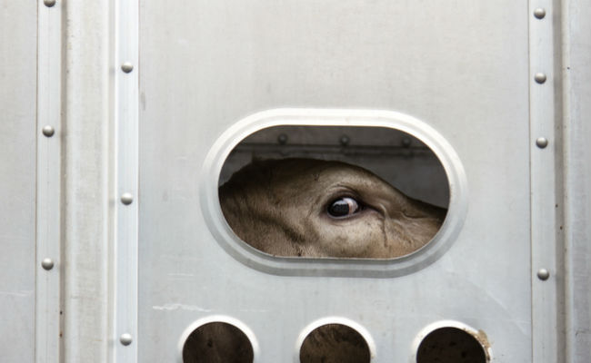 live export sheep EU cruelty abuse