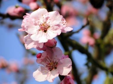 almond blossom flowers nuts tree