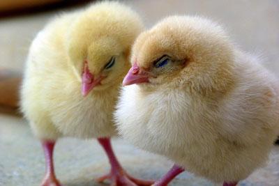 chicks-1444525