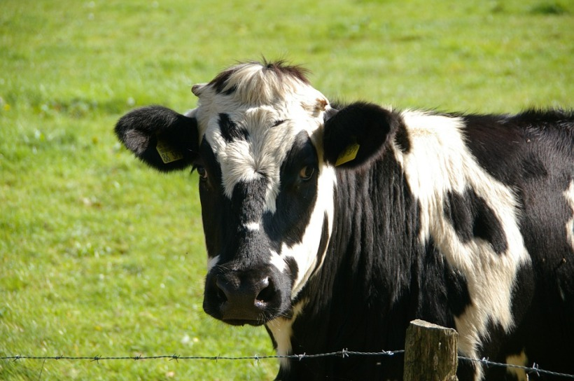 black white cow friesian dairy milk farm