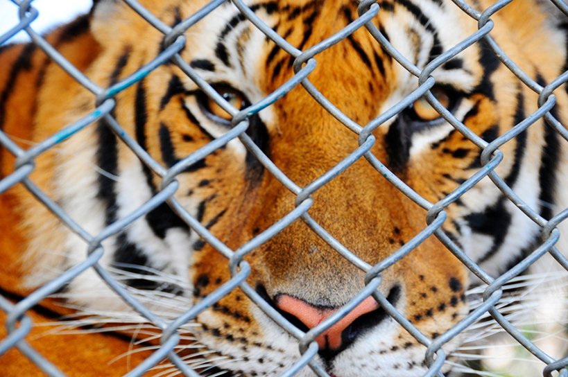 bengal tiger captive caged zoo cruelty aldf