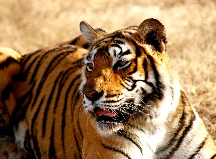 tiger-1634324_960_720