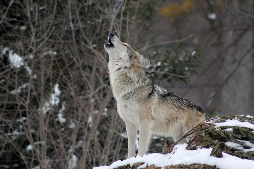 howling wolf snow wildlife nature